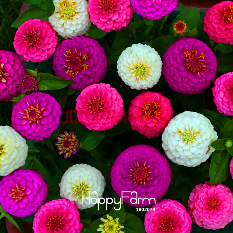 Superior Zinnia SeedsSale! 24 Types 100 Seeds A Pack Rare Fower Seeds for Garden Home & Garden Flores indoor Plants