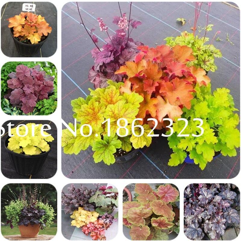 Импортные цветы 100 шт./пакет фиолетовый гейхеры (гейхеры Micrantha) Бонсай прекрасный бонсай растение для домашнего сада комнатные растения