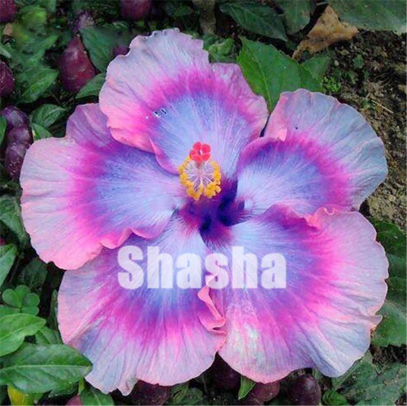 Vendita! 200 pz Gigante di Fiori di Ibisco flores Cinese FAI DA TE Impianto di Ibisco Bonsai Best Regalo Per I Vostri Bambini Facile Grow Giardino di Casa