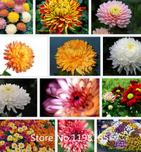Promotion Chrysanthemum seeds perennial flowering rose pink marigold seeds long full of real daisy seeds 100 particles / bag flo
