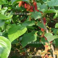authentic mulberry tree bonsai collected mulberry silkworm raising bonsai of high nutritional value of Mulberry 200g / Pack