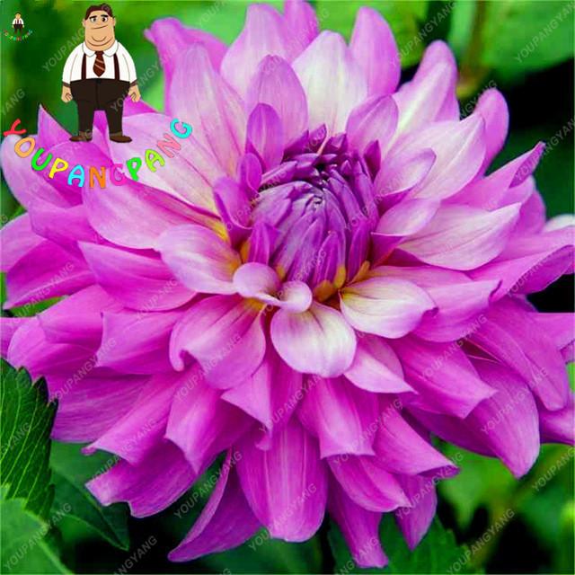 50Pcs Multi-Colored Dahlia Bonsai Beautiful Perennial Dahlia Charming Chinese Beautiful Flower Bonsai Plants Diy Home Garden