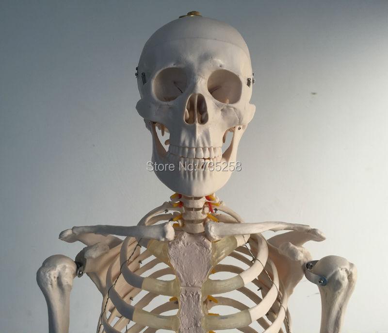 цена на Life-Size Skeleton 180cm Tall.Human Skeleton Model, Whole Body Skeleton Model
