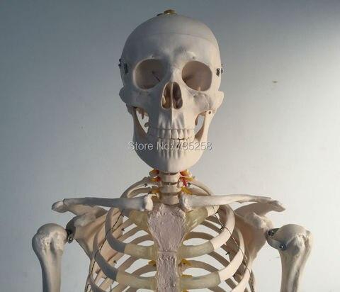 vida tamanho esqueleto 180cm de altura modelo de esqueleto humano modelo de esqueleto de corpo