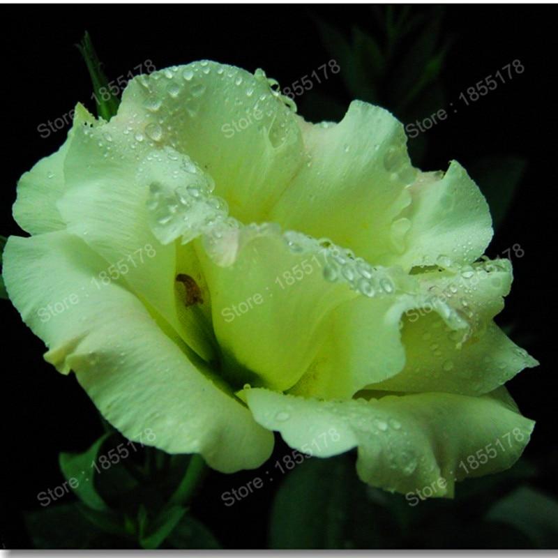 эустома садовая многолетняя заказать на aliexpress