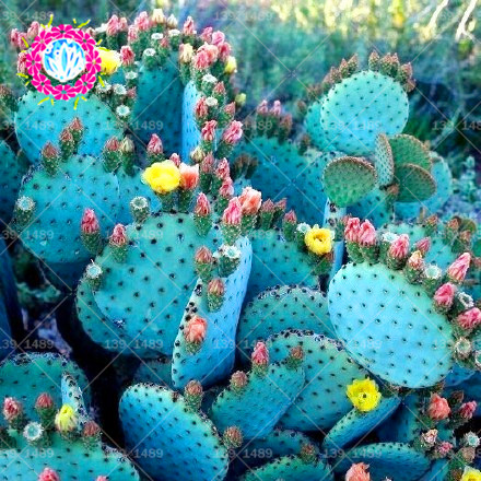 200pcs Rare Blue Succulents Seeds Cactus bonsai seeds Easy To Grow Potted Ornamental Plant for home garden Free Shipping