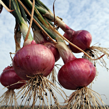 200  RED Onion Seeds Great  Vegetable~Organic healthy delicious heirloom seeds plant for home garden