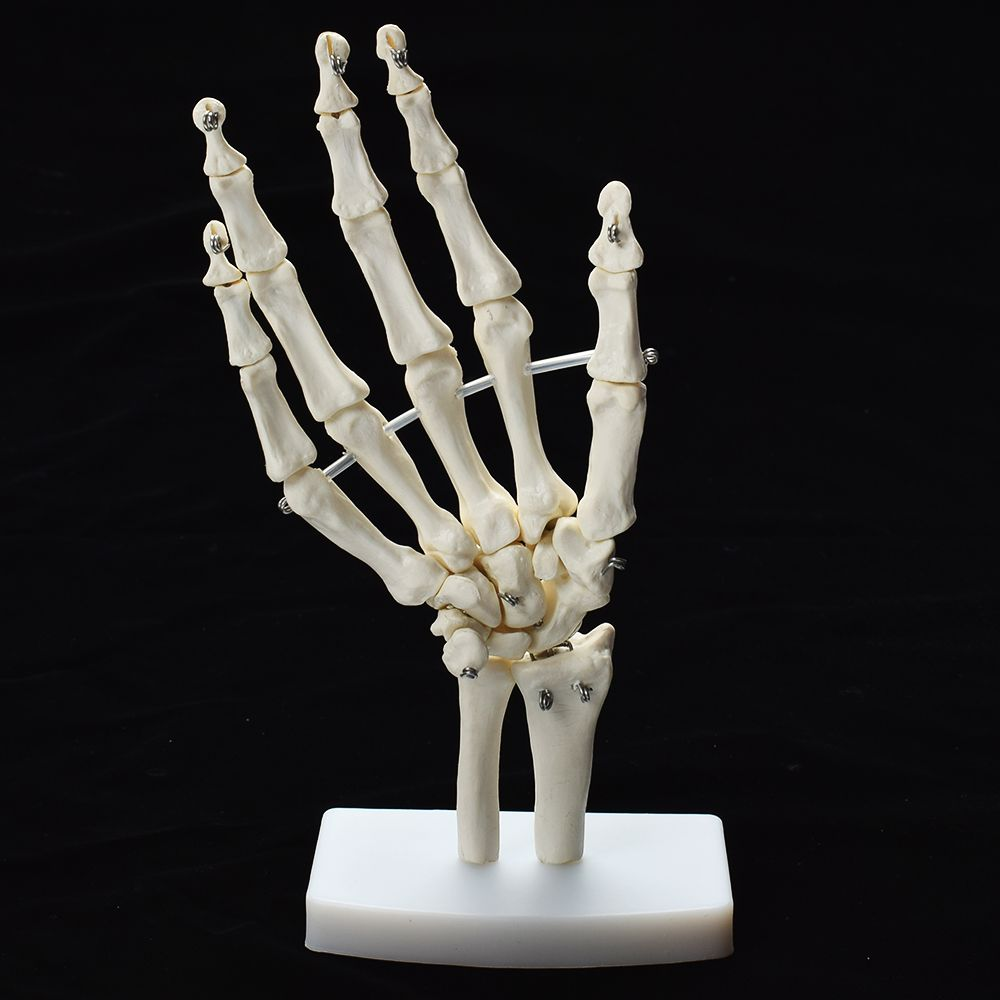 Human Hand Joint Anatomical Skeleton Model Medical Science Health Life Useful Medical Science For Teaching Resources retention of human resources for health