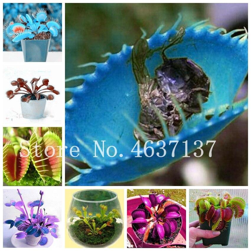 100 Pcs Insect Catching Plant Enchantress Carnivorous Succulent Desk Pot Bonsai Slurperon Giant Clip Venus Flytrap Plant Flowers