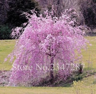 10 шт. японский белый фонтан плакучая вишня, домашний сад карликовое дерево редкие, красивые, засухостойкие, Харди