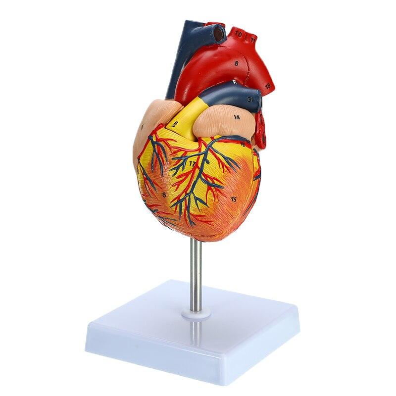 Cuore umano Anatomia Anatomico Modello di Insegnamento Visceri Medico Organo Modello Emulational per la ScuolaCuore umano Anatomia Anatomico Modello di Insegnamento Visceri Medico Organo Modello Emulational per la Scuola