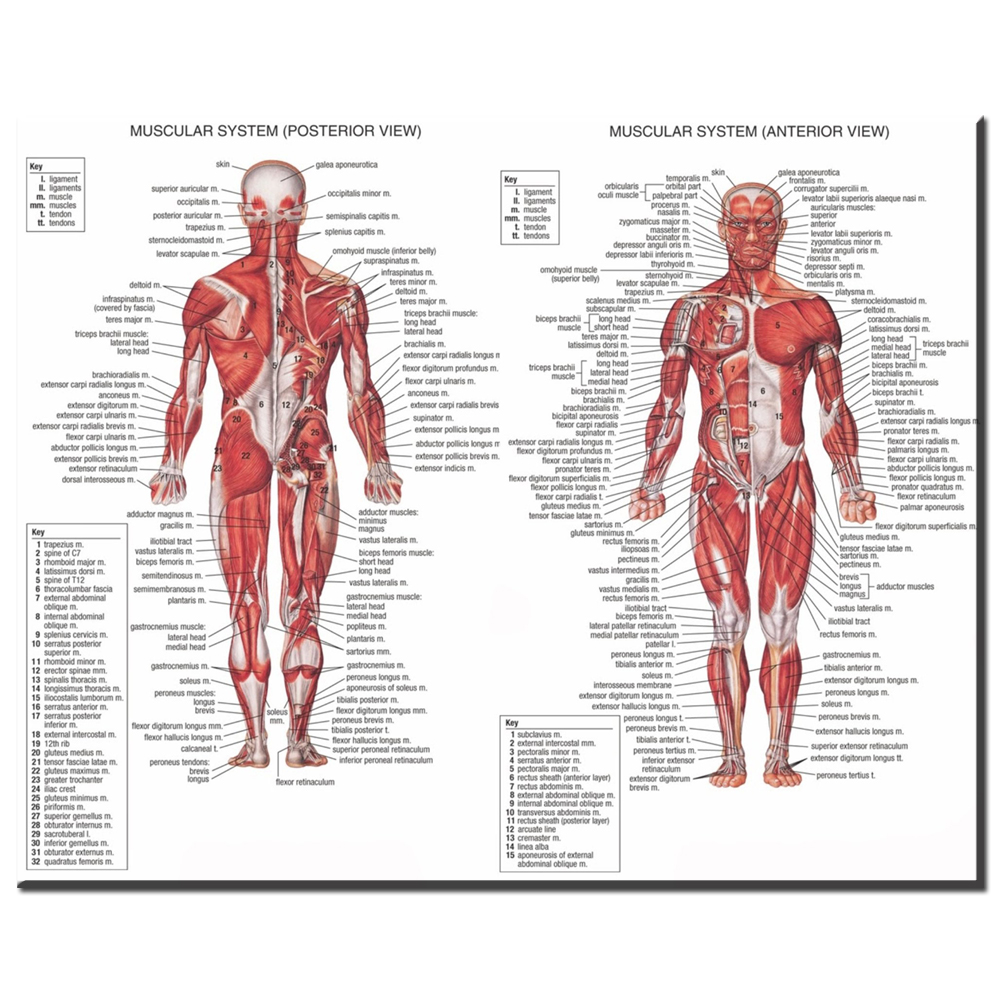 Aliexpress.com : Buy xdr608 Human Body Anatomical Chart Muscular ...