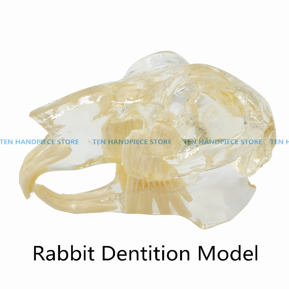 2018 good quality Rabbit Dentition Model teeth skull jam teaching model Transparent anatomical model of Veterinary Medicine 2018 good quality dog dentition model the dog teeth skull jaw bone transparent solution planing teaching veterinary animal model