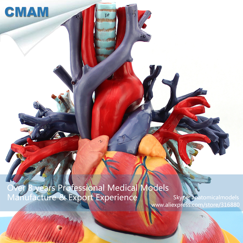 12477 CMAM-HEART01 Heart And Hyaline Lung, Trachea, Bronchial Tree Models, Medical Science Educational Models romanian educational models in philosophy