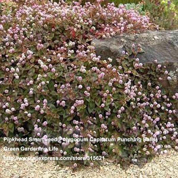 Cheap Ground Cover Online Get Cheap Ground Cover Pink Flowers Aliexpress .