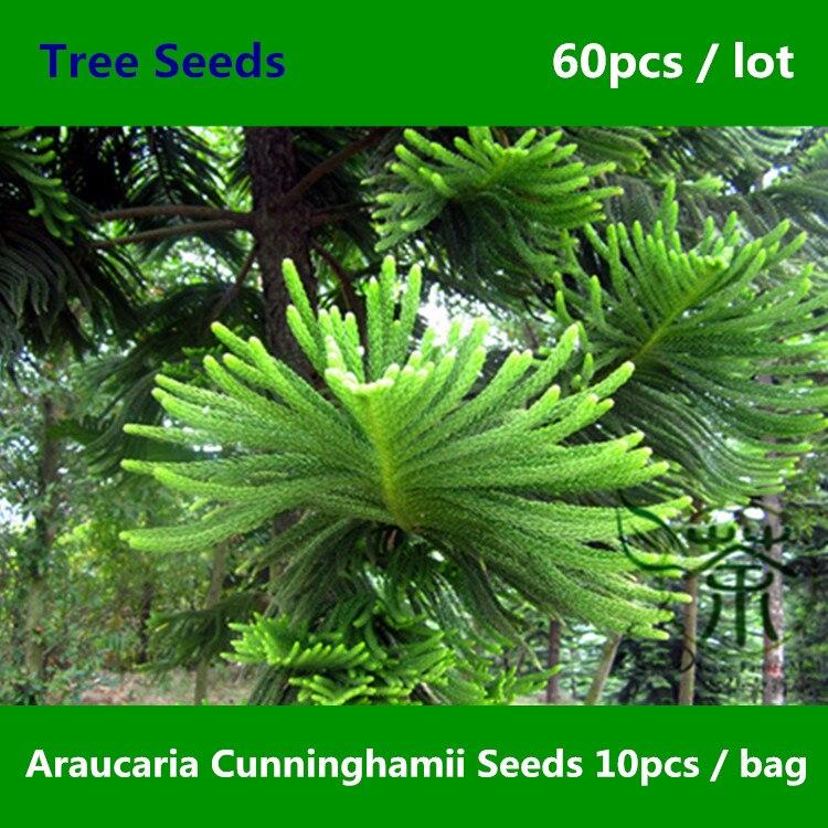 Colonial pino araucaria cunninghamii 60 piezas for Arboles de hoja perenne en galicia