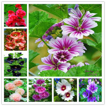 100 Pcs New Home Garden Double Hollyhock Bonsai Country Romance Mix Alcea Rosea Flower Decoration Bonsai(China)
