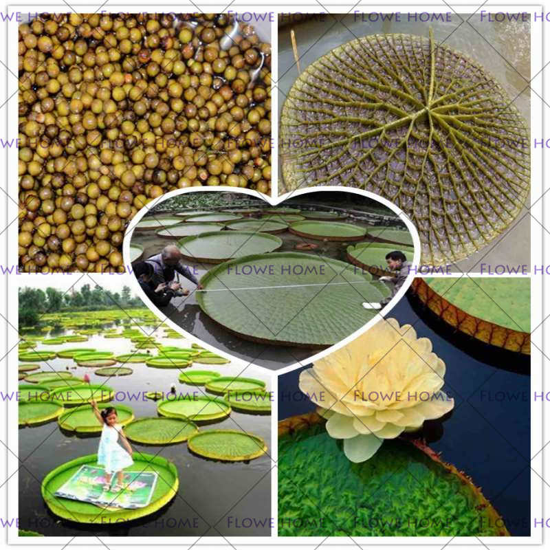 2018 new seeds 2 Seeds/pack, Victoria Cruziana Royal Water Lily Seeds, Hydroponic Flowers Giant Lily