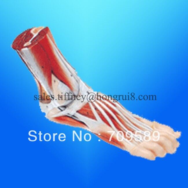 ISO Modelo de la anatomía del pie, modelo anatómico del pie - Blog Store