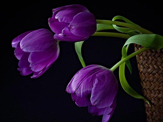 Unduh 8800 Koleksi Gambar Bunga Tulip Ungu Paling Cantik HD