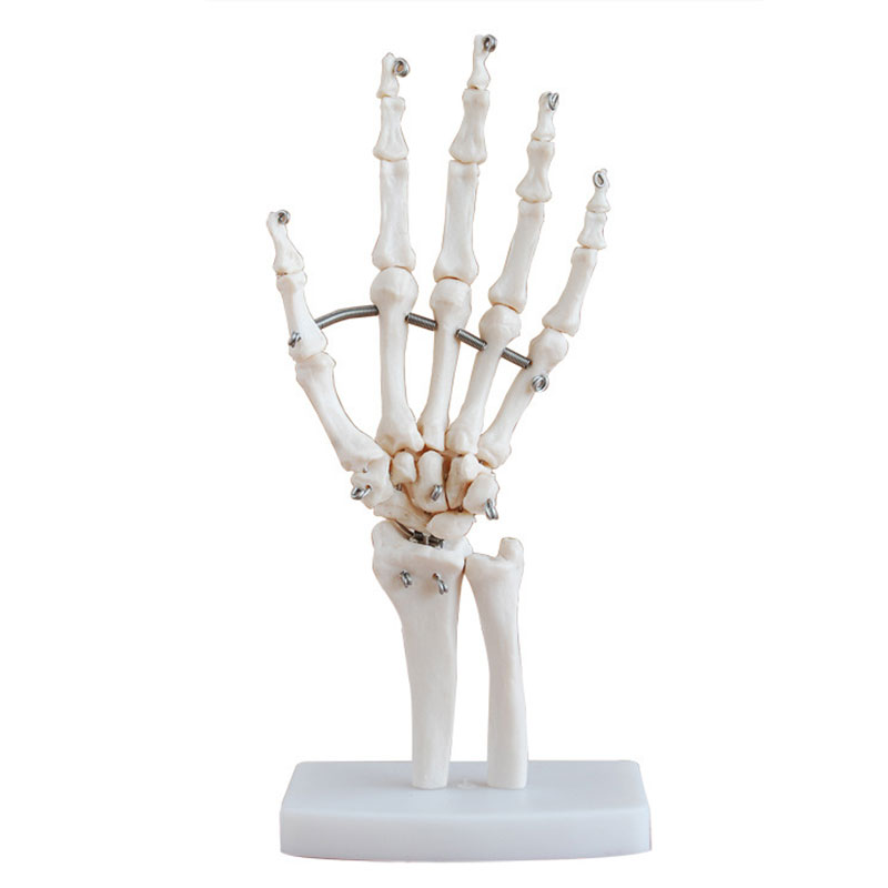 Professional Hand Joint Anatomical Skeleton Model Science Anatomy Life* цена