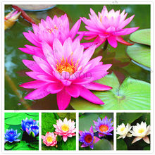water lily garden Aquatic plants Water Plants Midnight Blue Lotus ,bonsai plant for office,tea table,balcony,10pcs.(China)