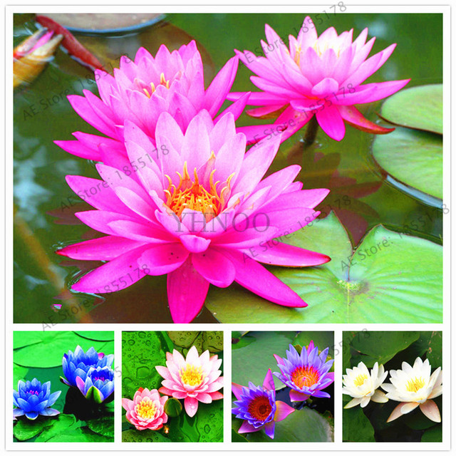 Water Lily Garden Aquatic Plants Water Plants Midnight Blue Lotus