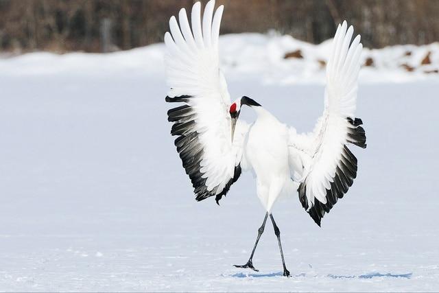 winter snow bird wings dance japanese crane jzk532 room home wall