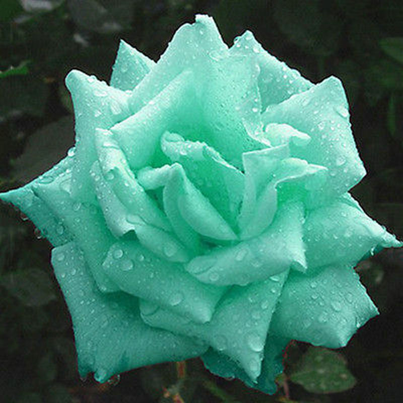 2019 Mint Green Rose Bonsai In Stock Flowers Seeds Plants Garden Decoration 100 Pcs Cheap