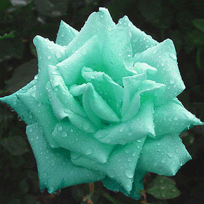 2019 Mint Green Rose Bonsai In Stock Flowers Seeds Plants Garden Decoration 100 Pcs Cheap
