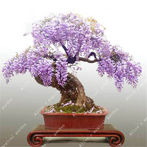 ZLKING 10pcs Wisteria Flower Bonsai Plants For Home Garden Super Natural Products Herbaceous Perennial Plants 3