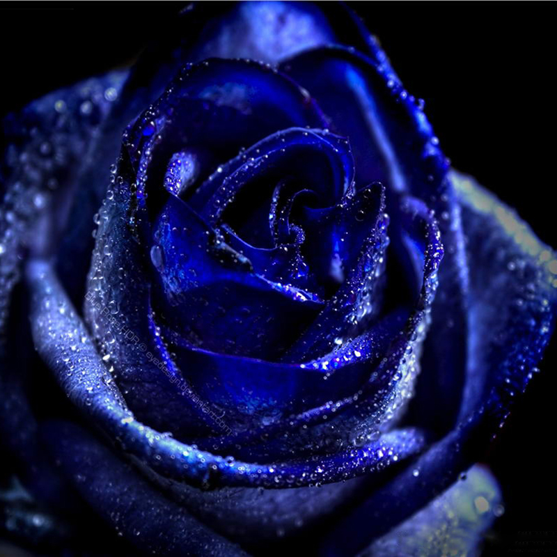 Dark Blue And White Flowers: Images Of Dark Blue Flowers
