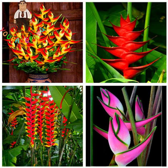2017 New Strelitzia Reginae Bonsai Indoor Plants Flowers Bird Of
