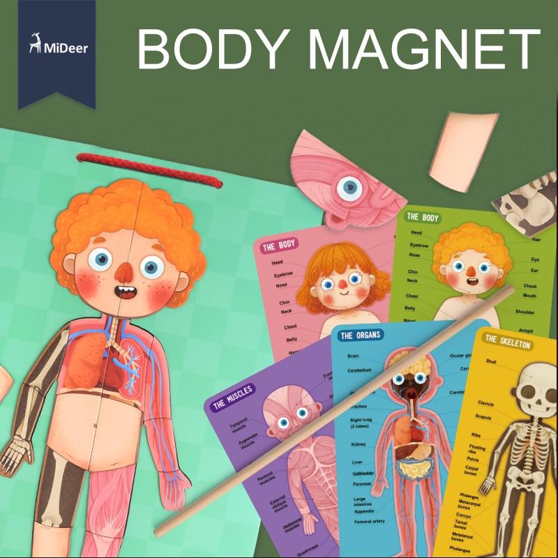 Corpo MiDeer Cognição cartões Ímã Puzzle Divertido Biologia Ciência MD2031 Early Learning Brinquedos Educativos para Crianças Presente de Aniversário