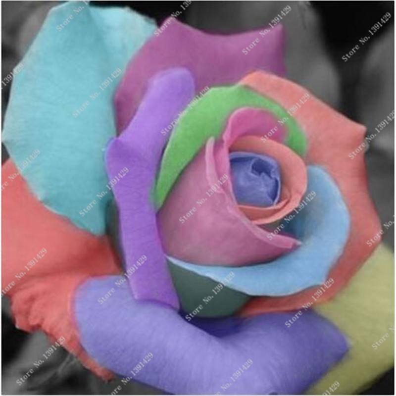 popular roses seeds exoticbuy cheap roses seeds exotic lots from, Beautiful flower