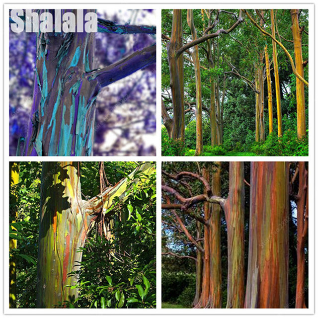 30 Pcs Rare Rainbow Eucalyptus Seeds Giant Bonsai Tree Potted Courtyard Plant For Home