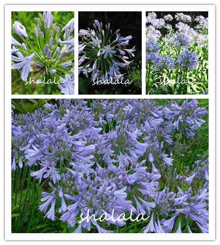 100 pcs Agapanthus charming color Beautiful flower shape, suitable for potted plants for outdoor viewing easy planting