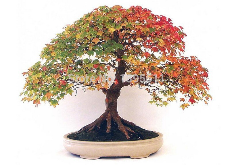 2 bonsai tree seeds 20 cherry blooms seeds and 20 maple tree to make your bonsai only $ 2.11 free shipping ornamental-plant