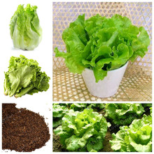 100 Pcs Lettuce Seeds Healthy Delicious NON-GMO Vegetable Seeds  Easy To Grow Great Salad Dhoice Bonsai Plant Home Garden