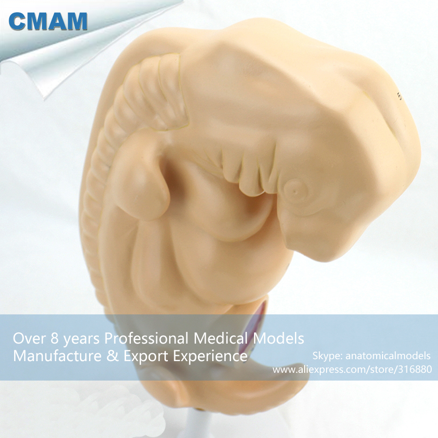 CMAM-ANATOMY38 Human Anatomical Four-week Large Embryo Model, Medical Science Educational Teaching Anatomical Models 2 part anatomical healthy human uterus and ovary model female medical anatomy teaching supplies