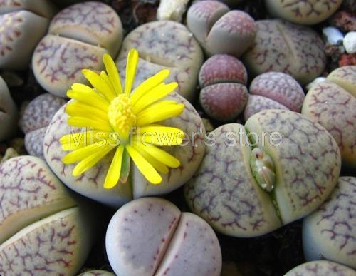 mezcla rara semillas lithops piedras vivas suculentas cactus jardn orgnico a granel de semillas s