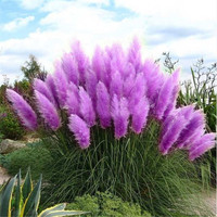 100pcs New Rare Impressive Purple Pampas Grass bonsais Ornamental home garden Plants Flowers bonsais Cortaderia Selloana