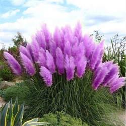 100 шт. новые редкие впечатляющие фиолетовый пампасы трава bonsais декоративные домашние, садовые растения цветы bonsais Cortaderia Selloana