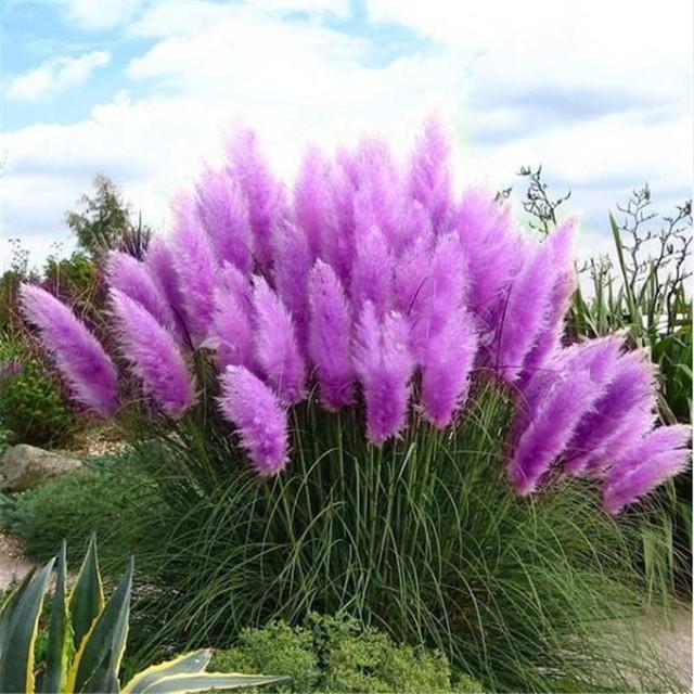 New Rare Impressive Purple Pampas Grass bonsais Ornamental home garden Plants Flowers bonsais Cortaderia Selloana.100PCS