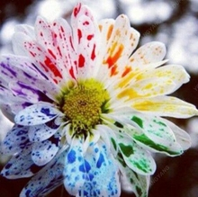 100 pcs/bag mix rainbow daisy seeds chrysanthemum seeds rare flower seeds Natural growth for home garden planting
