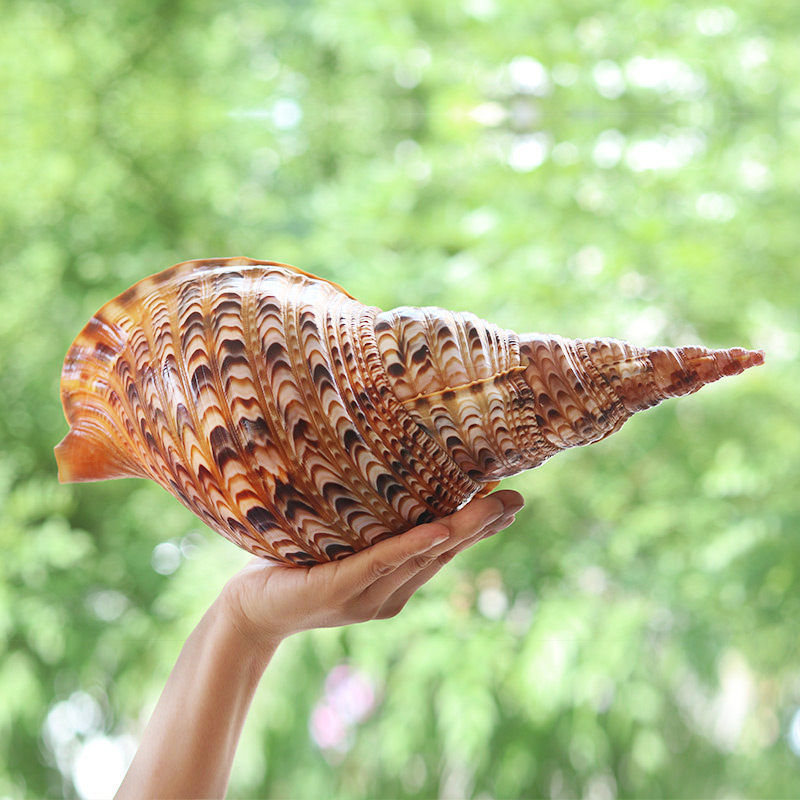 Natural Conch Shells Ornaments Mediterranean Specimens Shells Starfishes Sea Snail Creative Gifts New Micro-landscape Ornaments