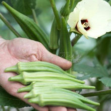 100 Clemson Spineless Okra Seeds,easy to grow vegetable