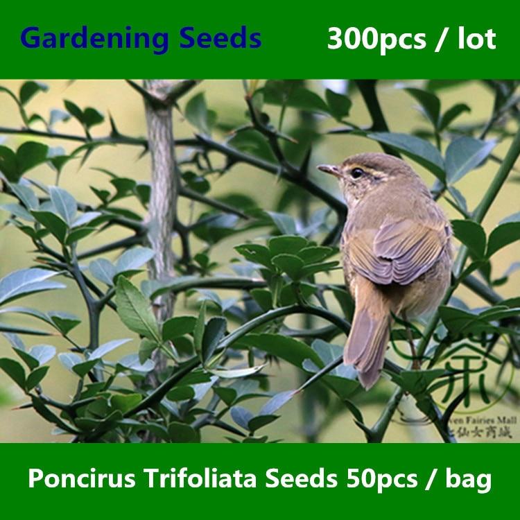 ^^Family Rutaceae Poncirus Trifoliata ^^^^ 300pcs, Ornamental Plant Trifoliate Orange Gardening ^^^^, Hedgerow Gou Ju Tree ^^^^