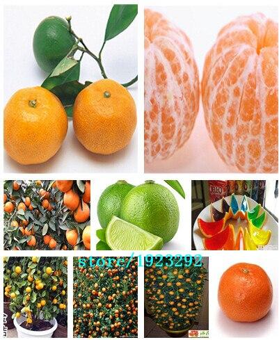 50pcs/bag Balcony Patio Potted Fruit Trees Planted Seeds Kumquat Seeds Orange Seeds Tangerine Citrus