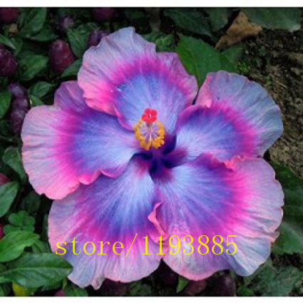 100pcs/bag Dinnerplate Hibiscus/ Red Hot/ Perennial Flower Seed/ Easy to Grow/ Huge 10 12 Inch Flowers bonsai flower seeds-in Bonsai from Home u0026 Garden on ... & 100pcs/bag Dinnerplate Hibiscus/ Red Hot/ Perennial Flower Seed ...
